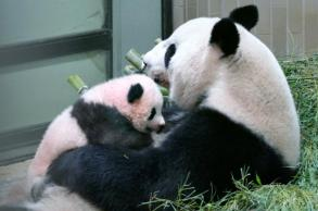 Tokyo's giant panda cub gets a name