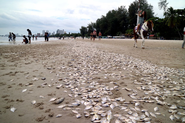 Tonnes of dead fish wash up on Hua Hin beach