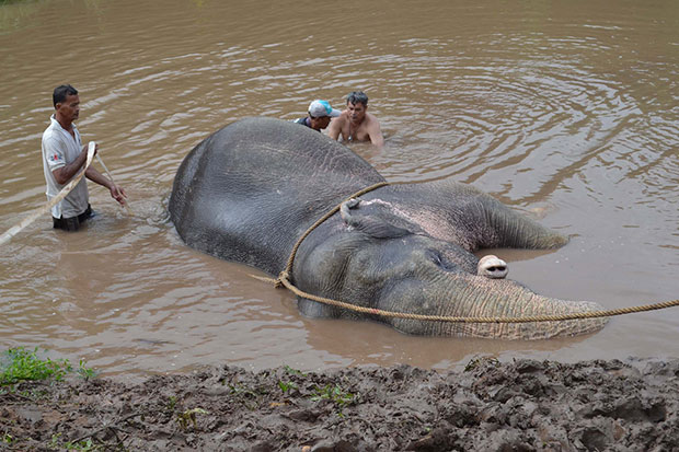 Wild elephant mired in muddy canal pulled to safety