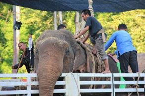 Sad ending: Rescued wild elephant dies (Updated)