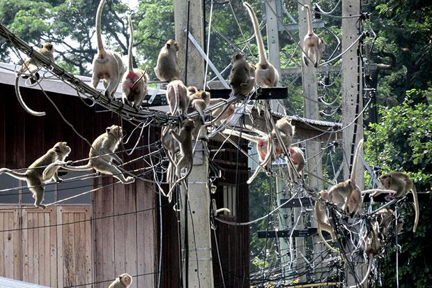 Rascal monkeys again pillaging homes, shops