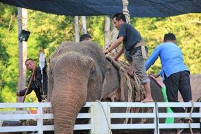 Wild bull elephant dies in Lampang