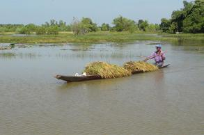 Farmers race to harvest flooded crops in Isan
