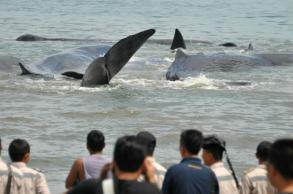 Indonesians rush to save beached sperm whales