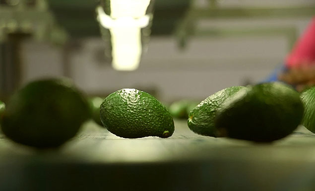 Avocado as good as gold for S.African farmers