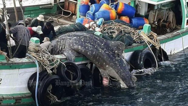 Boat owner in trouble over whale shark capture