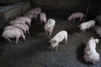China reports new African swine fever outbreak