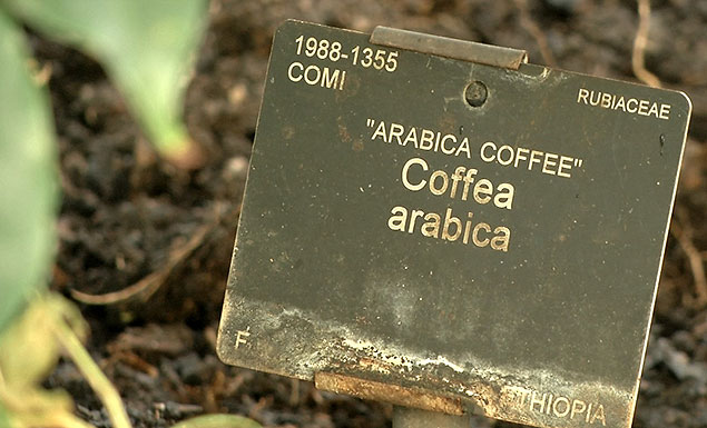 Many coffee species threatened with extinction