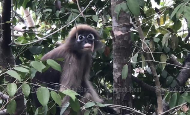 Dusky lemurs frolic in Prachuap Khiri Khan