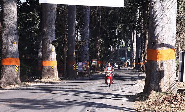 Saving iconic roadside trees