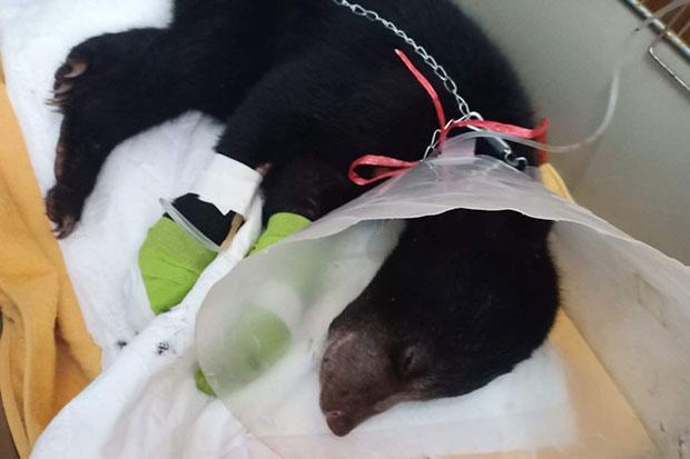 Trapped bear cub fully recovered | Bangkok Post: news