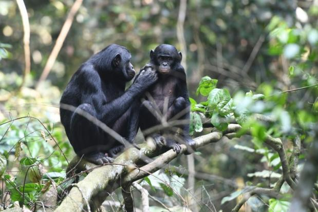 Wingmoms: How bonobo mothers help their sons find love | Bangkok Post: news