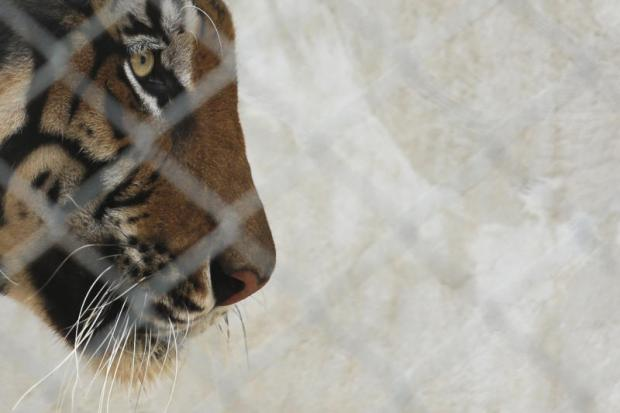 Cat and mouse: Accused tiger trafficker slips authorities' net