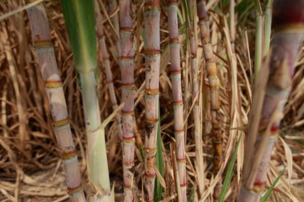 Bad weather threatens to put a damper on sugar harvest