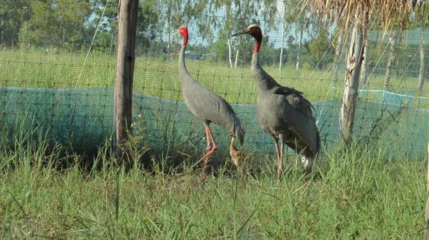 Thai crane species gains new lease on life