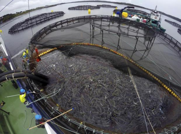 Surge of parasitic sea lice disrupting salmon farms