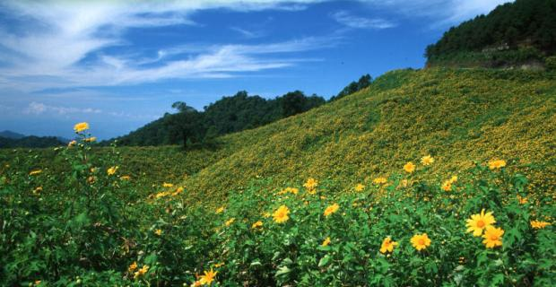 Sunflowers in Mae Hong Son
