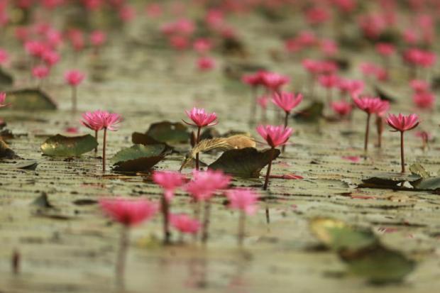 Water lilies in Nongkhai