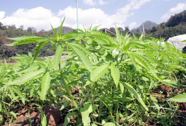 Thailand eyes moves to allow medical marijuana plantations