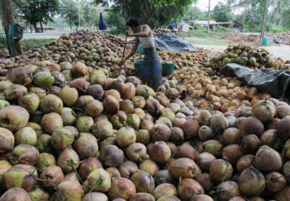 Harsher coconut import rules to counter price dip | Bangkok Post