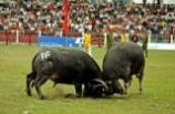 Buffalo Fight Festival